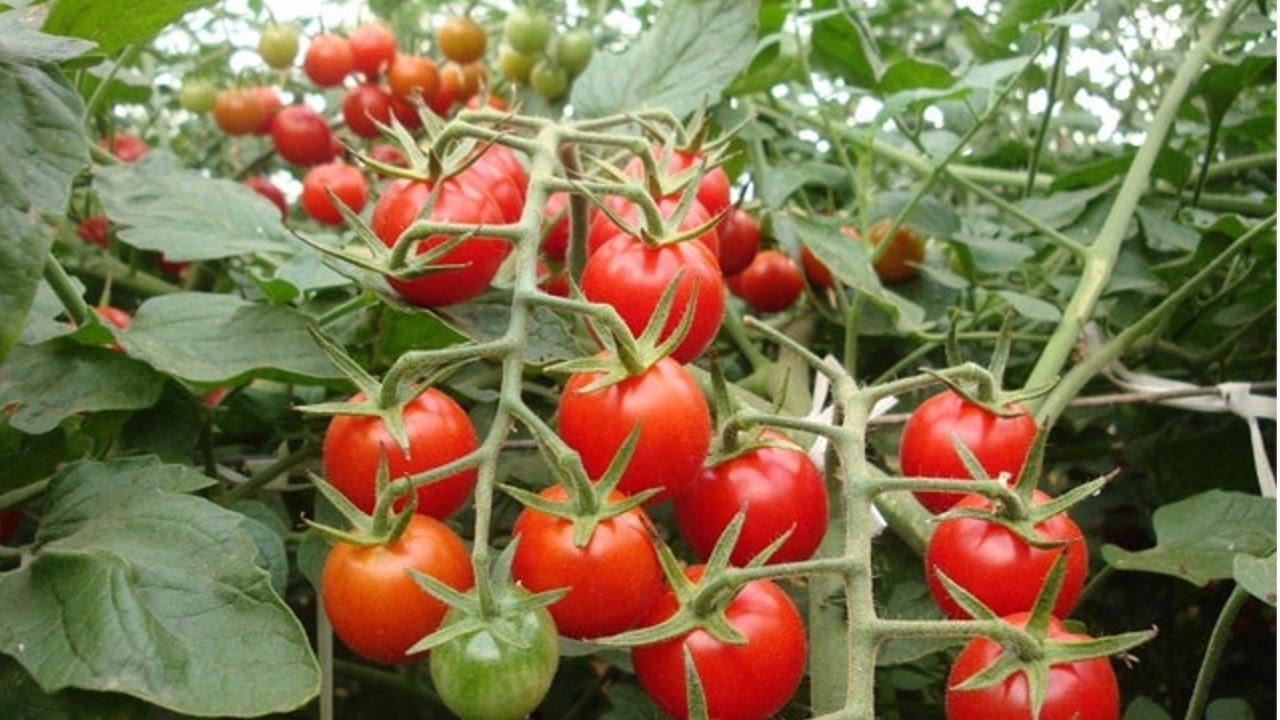 Manual cultivo de tomate hidroponico