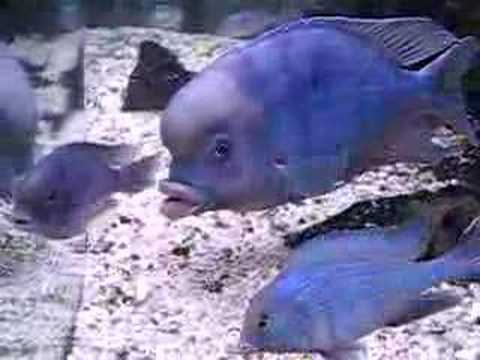 Cichlid blue dolphin how to set up youtube